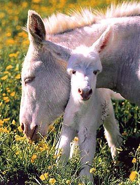 White donkeys of Asinara (National Park)