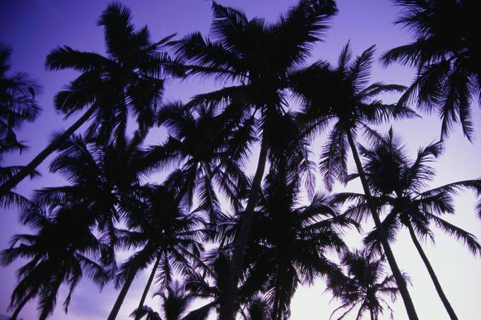 Cocunut Palms in Benaulim