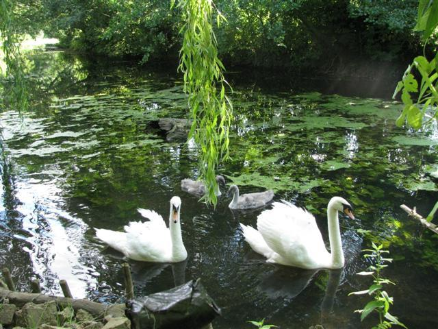 swans return with there young, in June