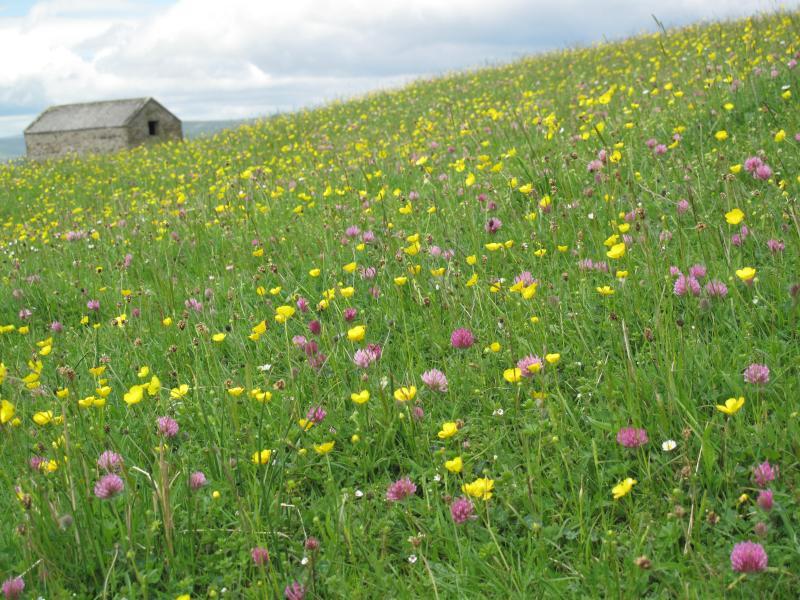 Wharfedale Hay Meadows