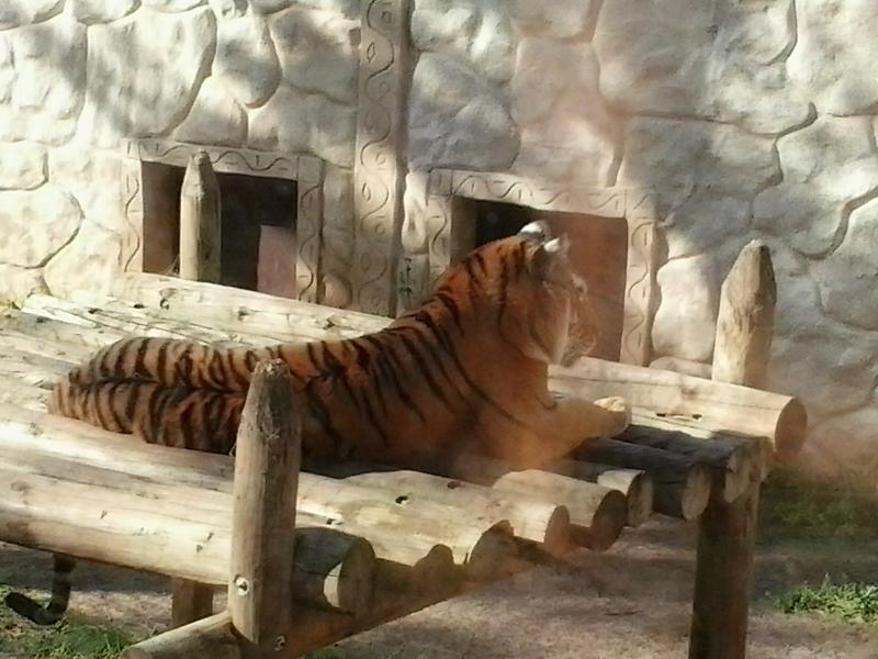 Tigre no Jardim Zoológico de Yamonte/Espanha