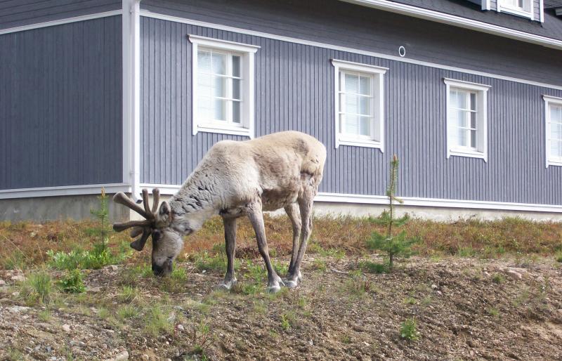Reindeer wandering the village