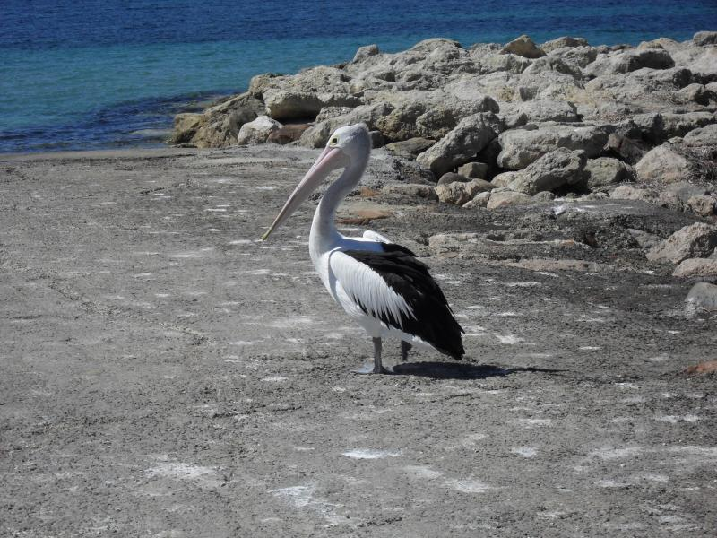 A friendly pelican waiting on the boat ramp for a feed. One of many that come in to get the fish.