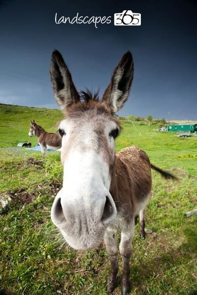 Donkeys, Gilbert and George hoping for a carrot