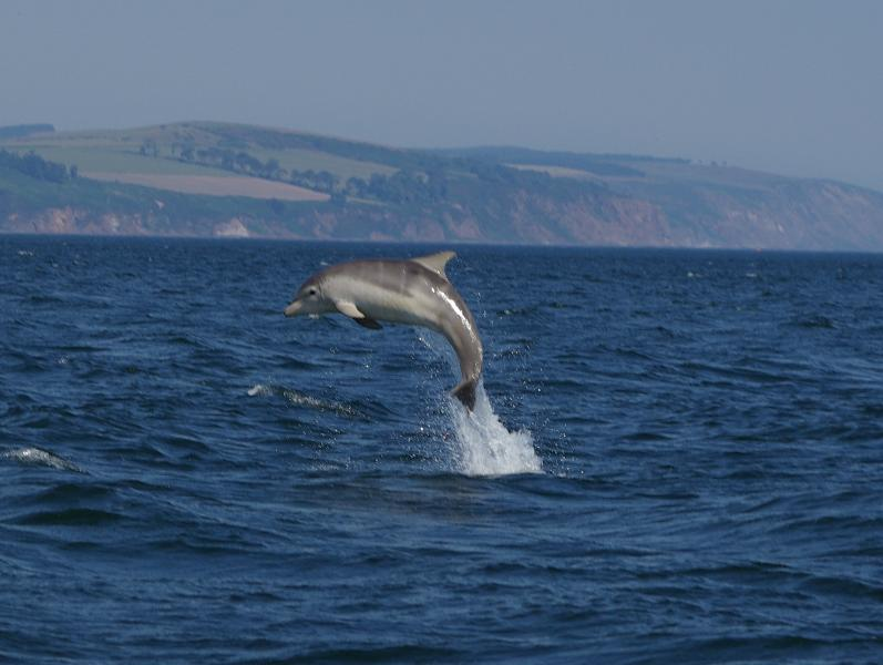 Dolphin jumping in the Moray Firth