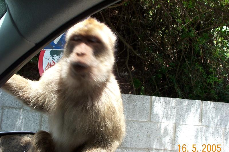One of the famous Gibraltan  apes
