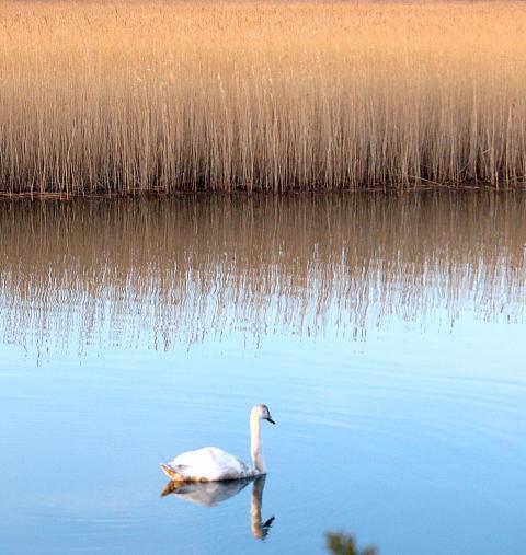 Cisnes en el río Dysini