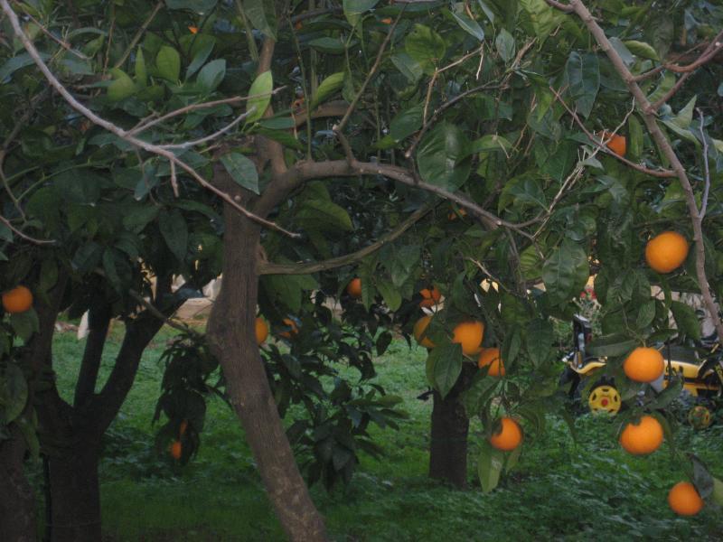 December among the orange trees in the garden