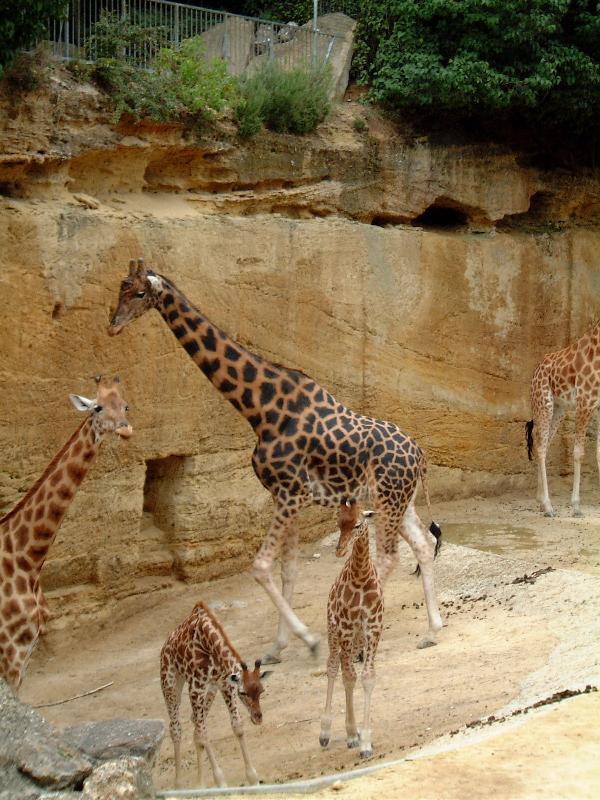Conservation Zoo de doué. Girafes