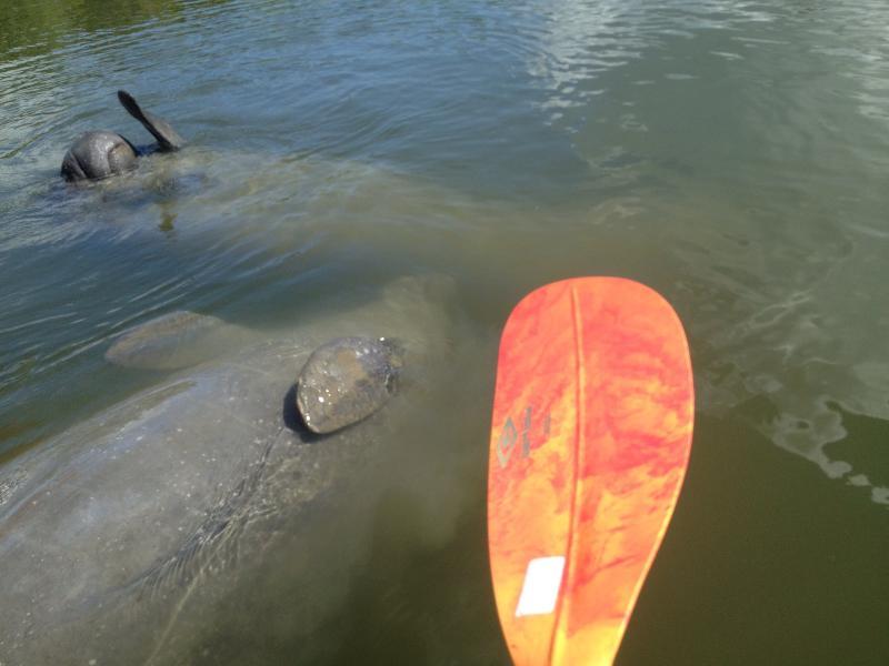 Un manatí amigable en un viaje de kayak