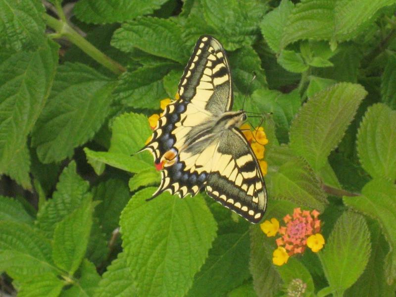 Swallowtail butterflies gather nectar off Lantana in the summer
