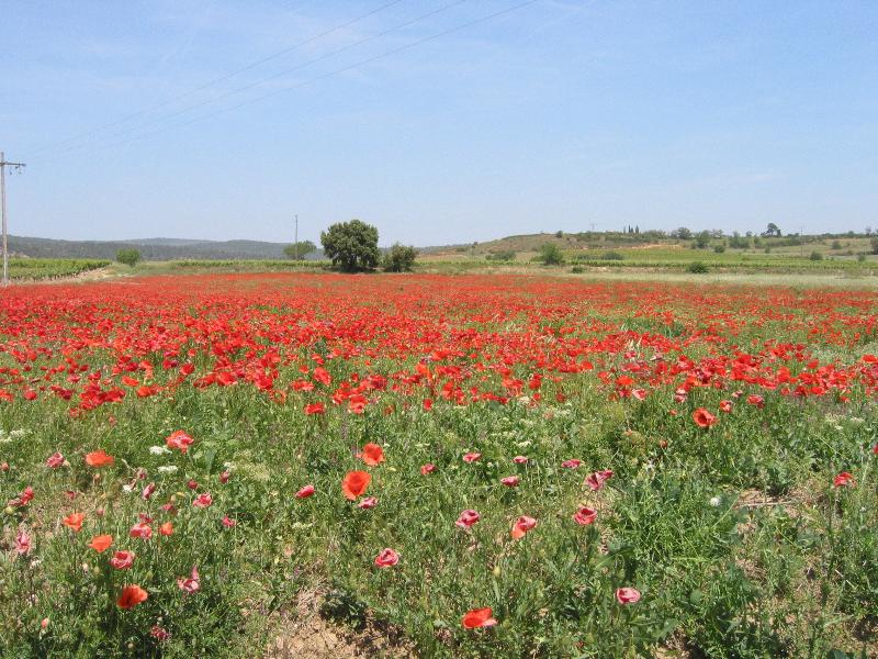 Poppies: wild flowers abound in the surrounding fields