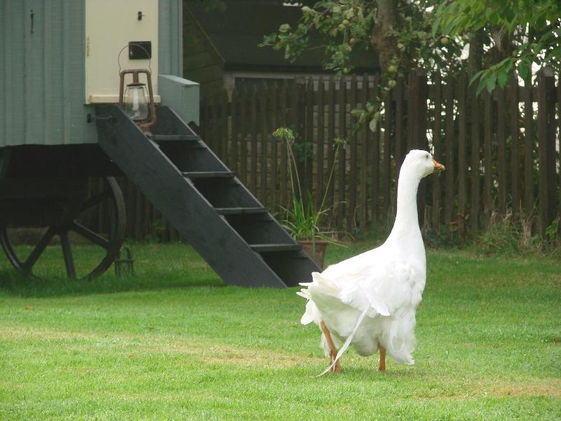You may have a visit from the friendly goosey gander who lives next door