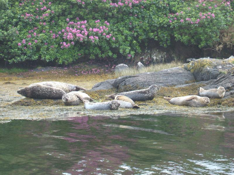Seals on the Rocks near Garnish Island