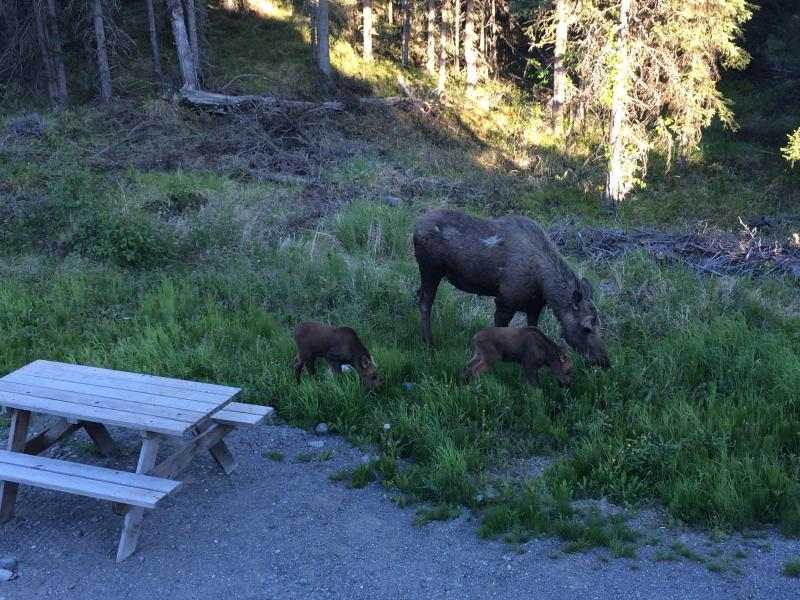 Mama moose and her newborn calves in the yard.