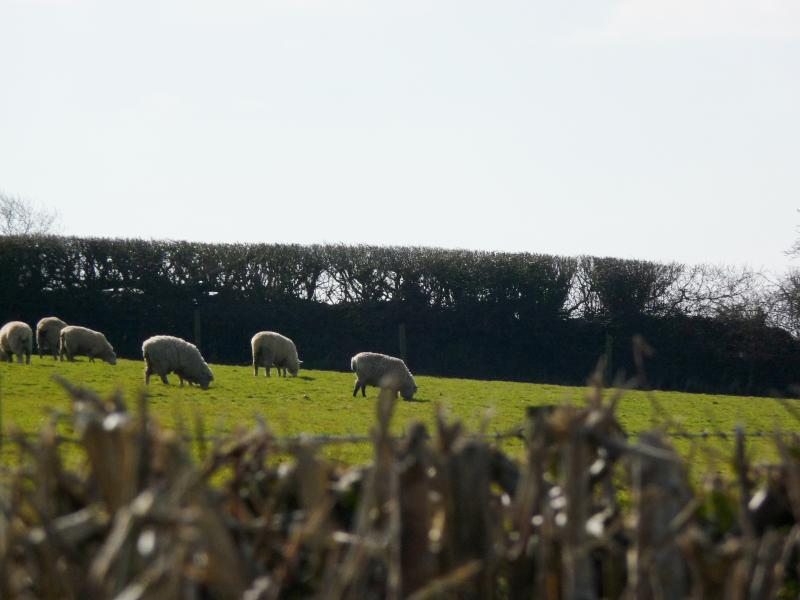 See the sheep in the field beside The Shippen