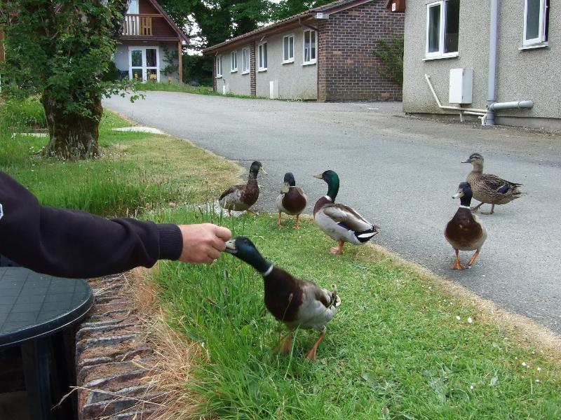 Ducks coming by for breakfast