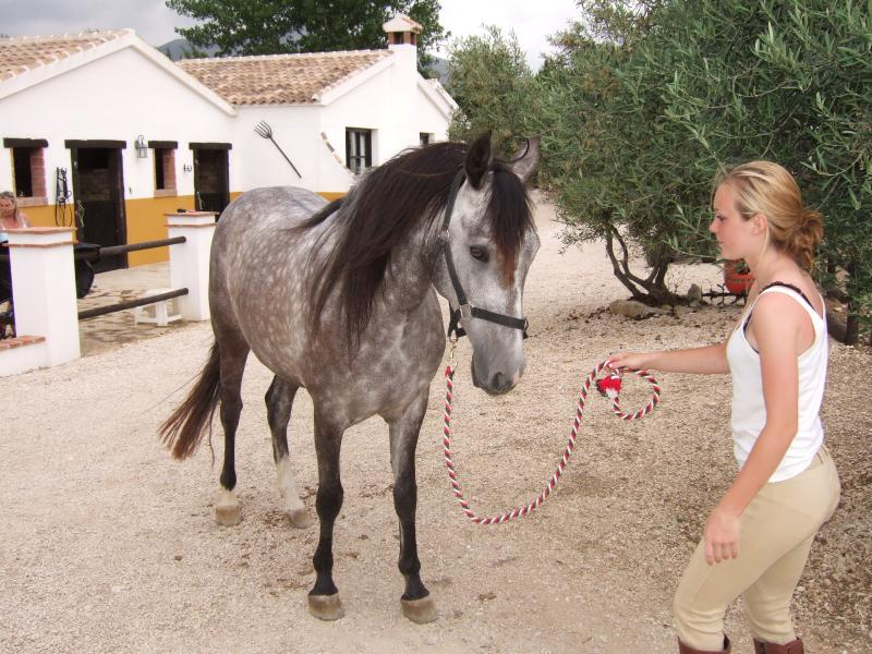 Hidalgo, our new 4yr old Andalucian gelging