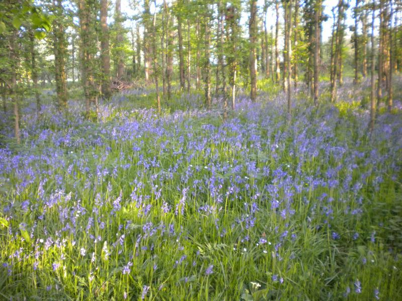 Bluebell wood for walks