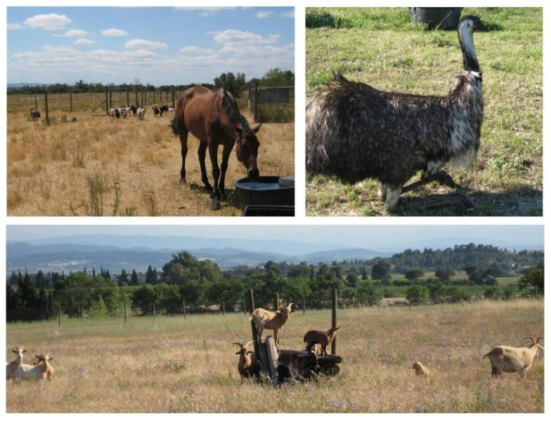 Raja the horse with the goats and Emu enjoying the sun