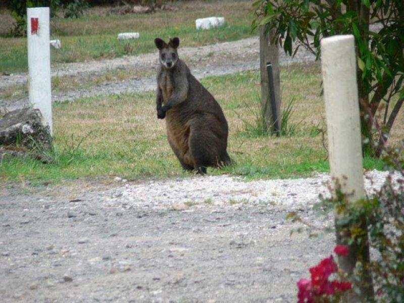 Resident Wallaby