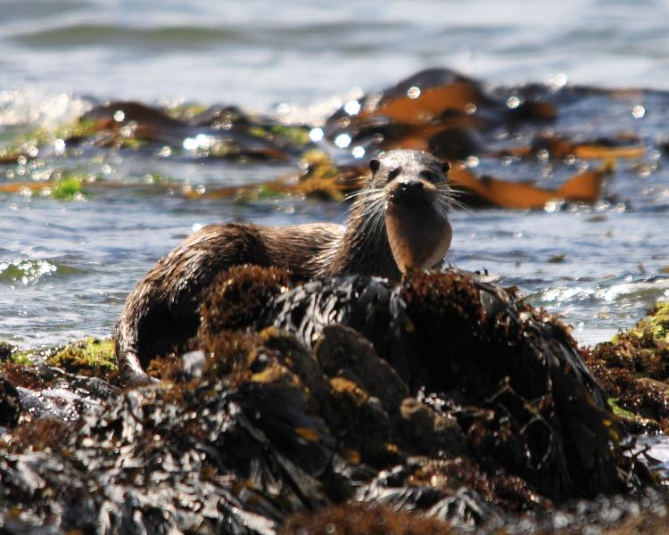 otter on the beach at pennyseorach