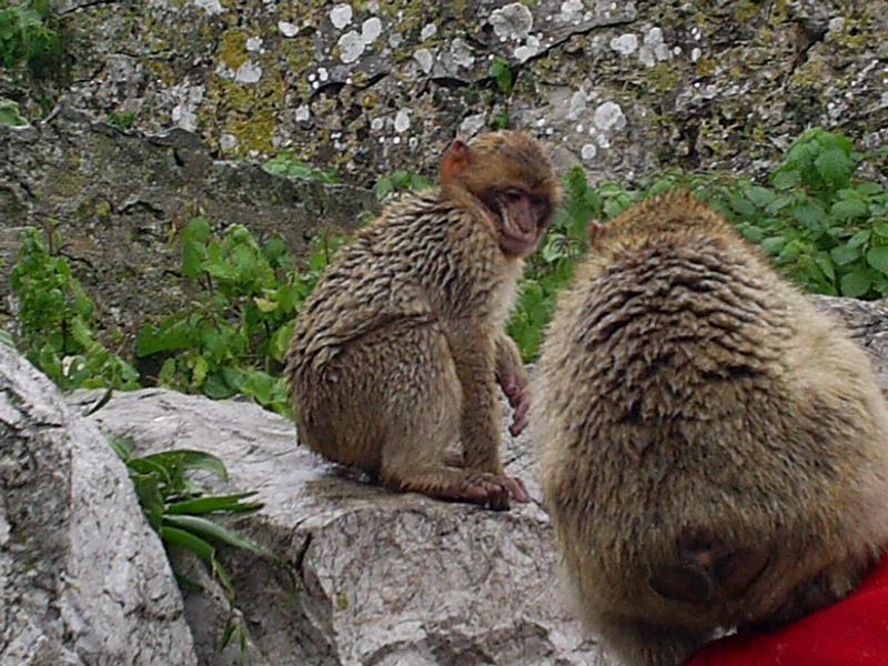 monkeys at nearby Gibraltar