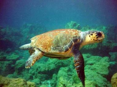 The protected loggerhead turtle.
