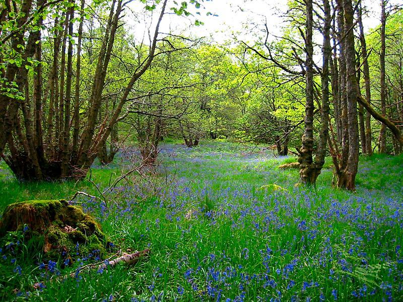 Bluebells in Craggantoul forest