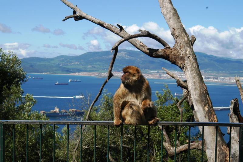 Barbary ape on Gibraltar - very entertaining