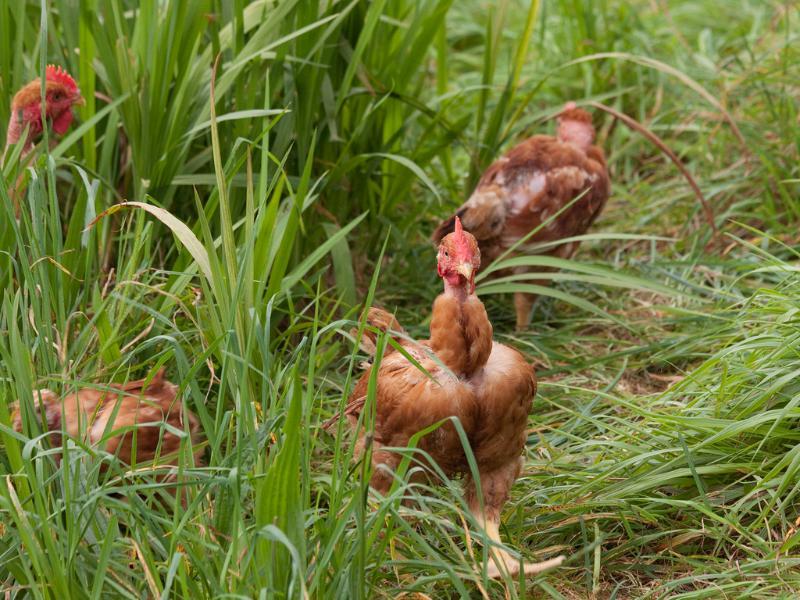 Organic Chickens at Quinta das Colmeias
