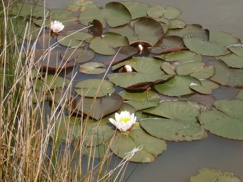Lilies on woodpecker lake