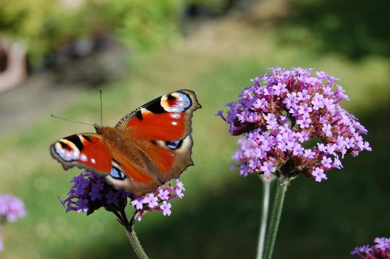A peacock butterfly alights on a flower to sip the nectar.