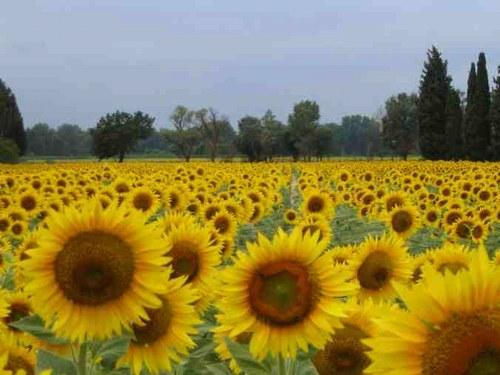 Field of sunflowers in Charente-Maritime