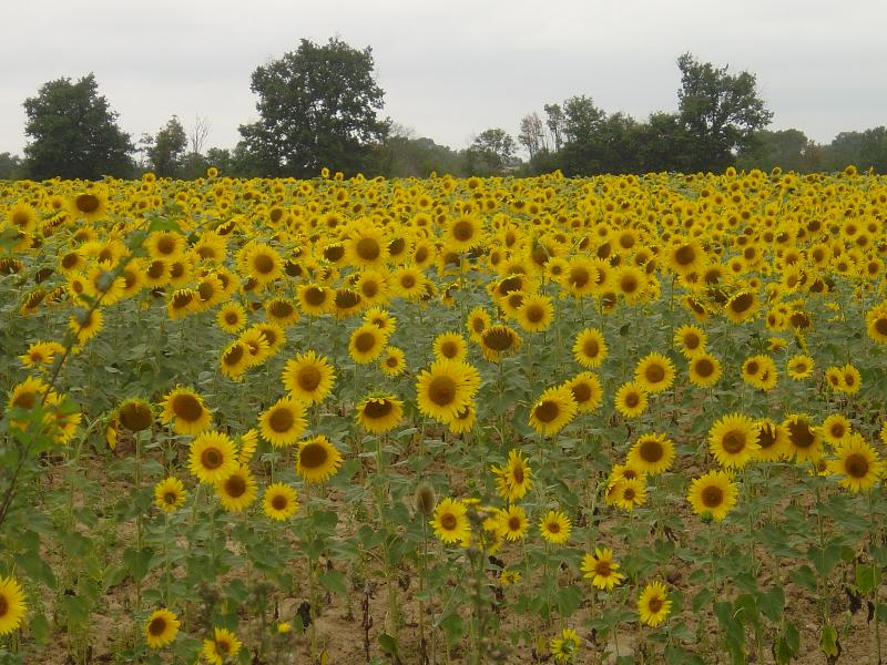 The Sunflowers in Bloom