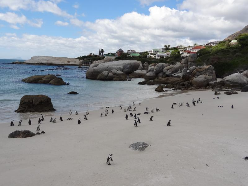 Penguins at Boulders 5 miles from the villa