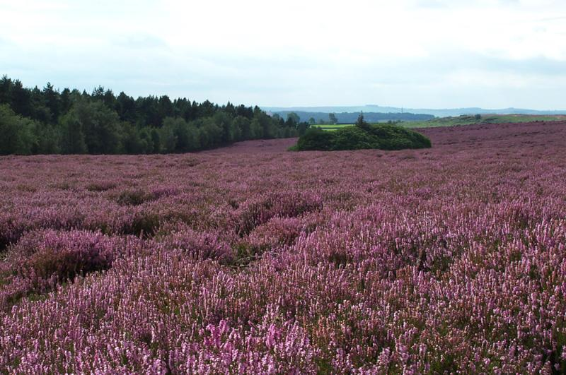 Heather moorland within 2 miles of cottage