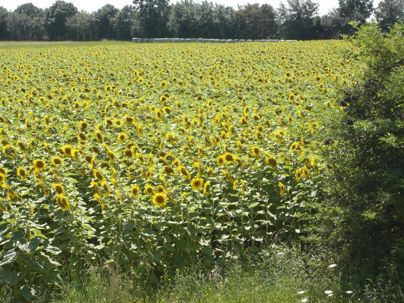 Sunflowers in August in the field beside the cottage