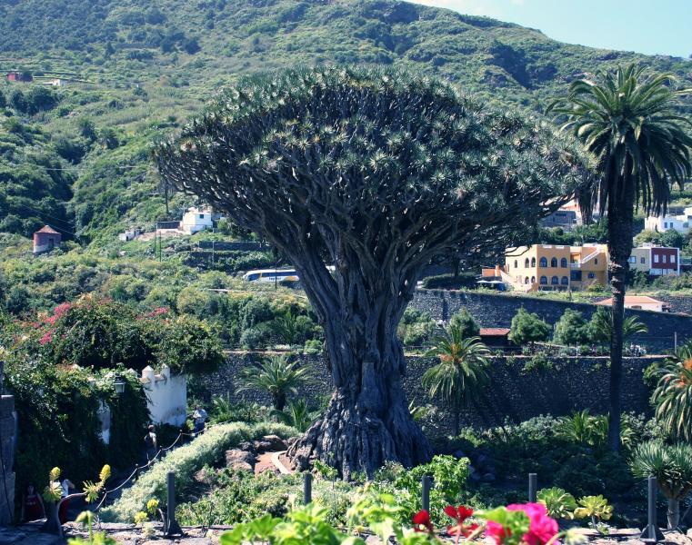 The Dragon Tree