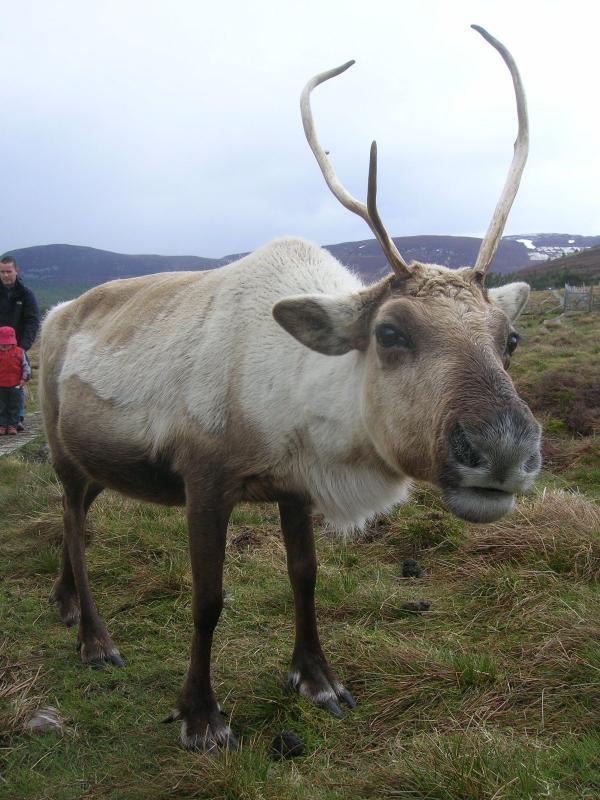 Renos pueden encontrarse en el Highland Wildlife Park y en Cairngorm.