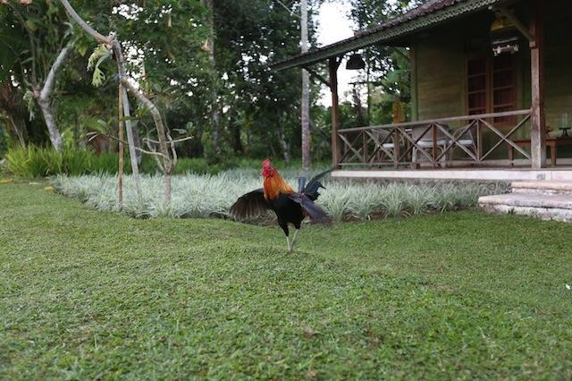 Resident rooster