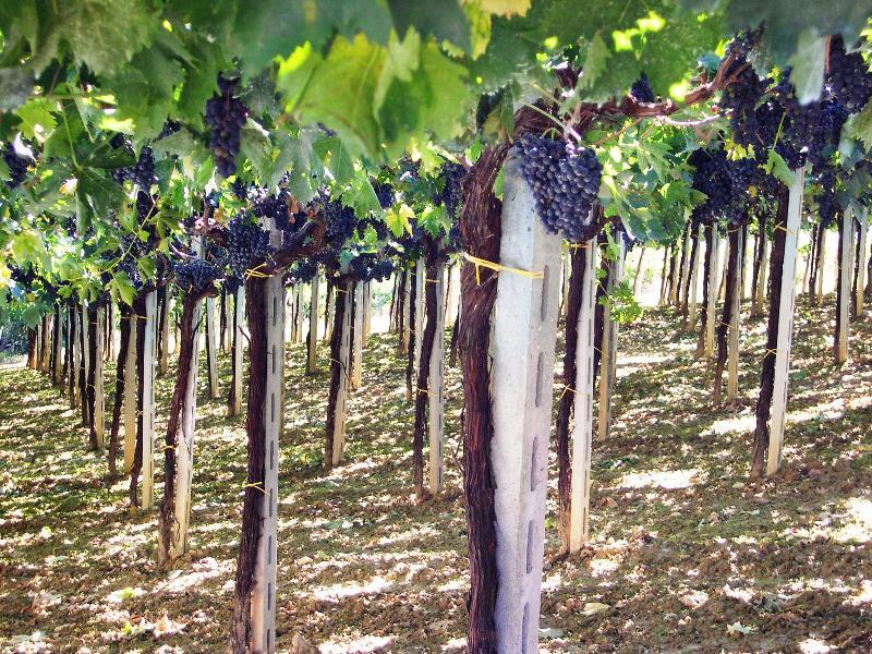 Casa Bianca's vineyard - awaiting harvest time