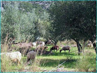Sheep grazing around the villa