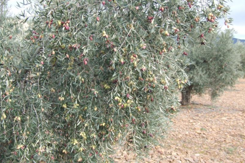 Olivos Centenarios - Surrounded by Olive Trees - Von Olivenbaümen umgeben