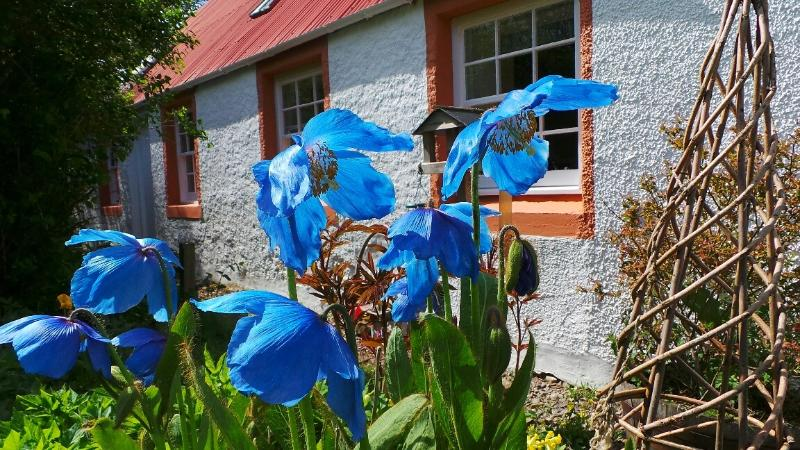 Lodge Barn with Himalayan Blue Poppies