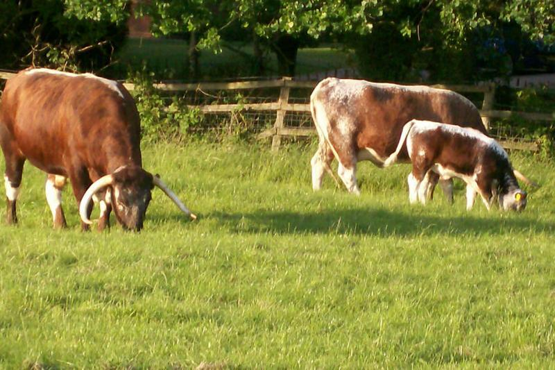 Longhorn cattle in the adjoining paddock