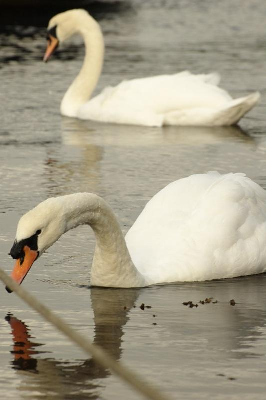 Cisnes em Kenmare Pier