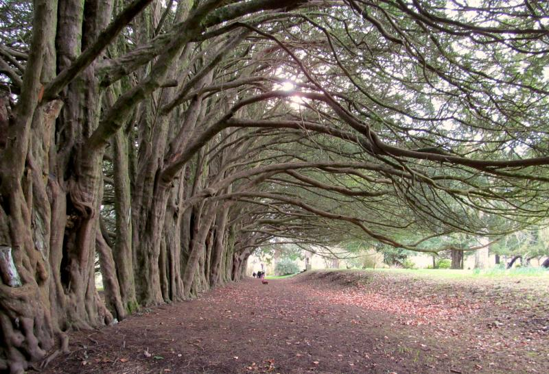 The ancient yew walk in the grounds of the Castle