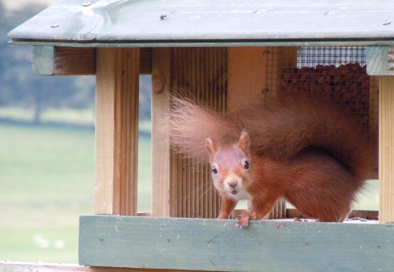 Red squirrel visitors to the bird feeders