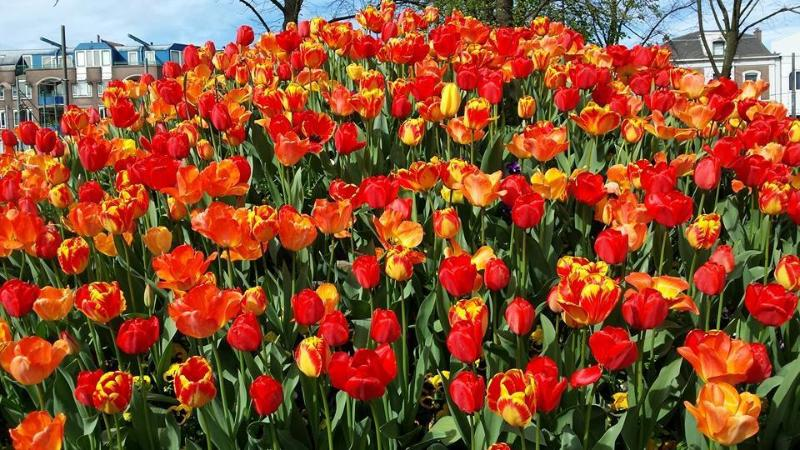 Flor de Amsterdam ciudad